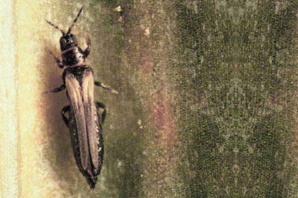 Adult onion thrips